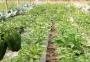 পাবনায় ক্যাপসিকাম'র বাণিজ্যিক চাষে বাড়ছে সফলতা